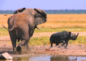 Bull elephant rhino